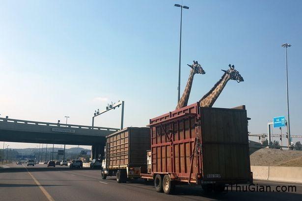 GiraffesBridge Một chú hươu cao cổ chết vì lý do quá cao