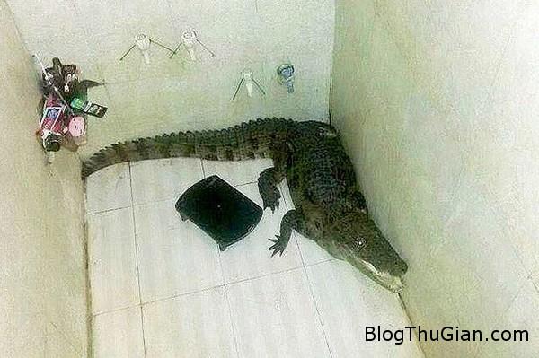 c1a433giatminhcasaudotnhapphon Cá sấu dài 1.5m đột nhập vào phòng tắm mà không ai hay biết