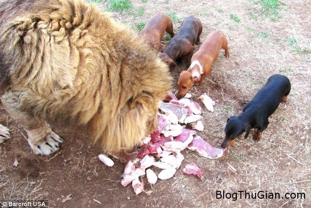 h2 Tình bạn thân thiết đặc biệt giữa chú sư tử Bonedigger và chú chó Milo