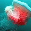 jellyfish_2999682b