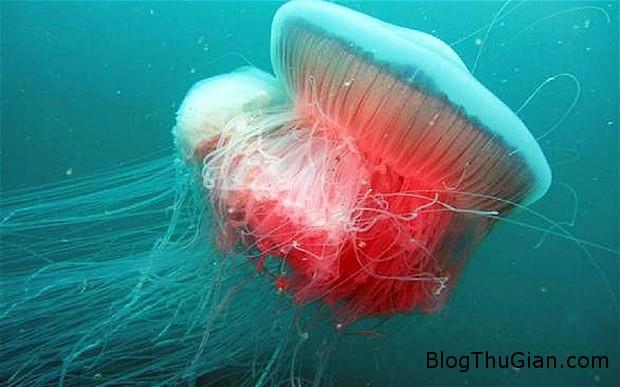 jellyfish 2999682b Loài sứa quý hiếm nhất thế giới xuất hiện sau 70 mất tích