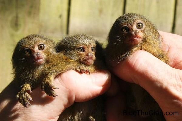 140902 1khi d90fe Ca sinh ba đầu tiên trên thế giới của khỉ đuôi sóc