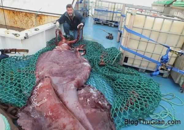 140917 1muc 7909d Bắt được con mực khổng lồ có chiều dài hơn 3.5m và nặng 350kg