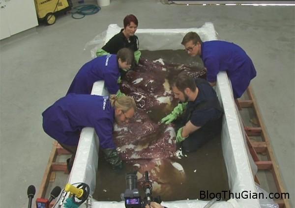 140917 2muc 7909d Bắt được con mực khổng lồ có chiều dài hơn 3.5m và nặng 350kg