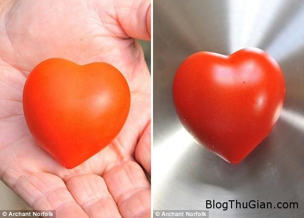 140919 2cachua 03e00 Trái cà chua có hình trái tim đặc biệt