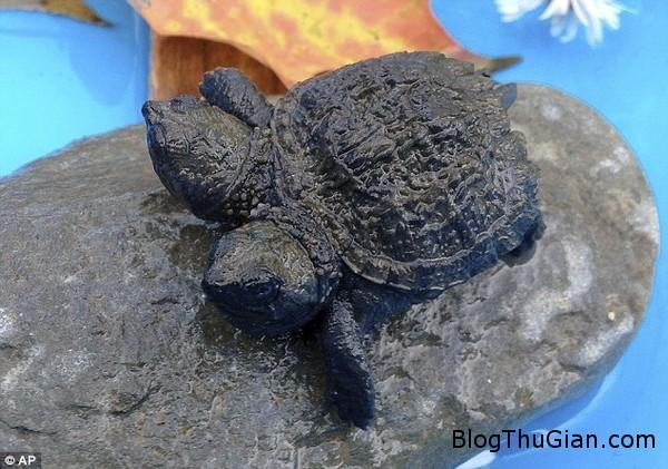 140929 1rua 74e37 Con rùa nhỏ có 2 đầu mới được tìm thấy ở bang Maine.