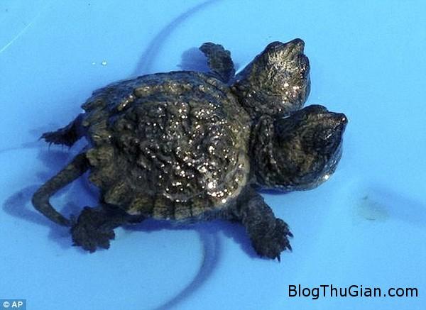 140929 2rua 74e37 Con rùa nhỏ có 2 đầu mới được tìm thấy ở bang Maine.