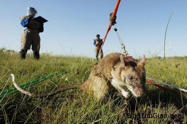 chuot 1 ed9b9 Huấn luyện chuột khổng lồ làm nhân viên dò mìn