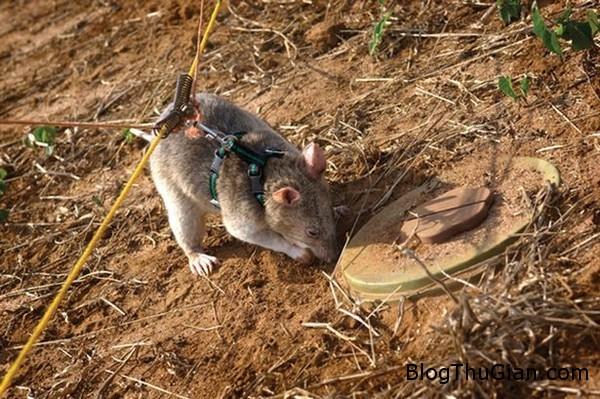chuot 2 ed9b9 Huấn luyện chuột khổng lồ làm nhân viên dò mìn