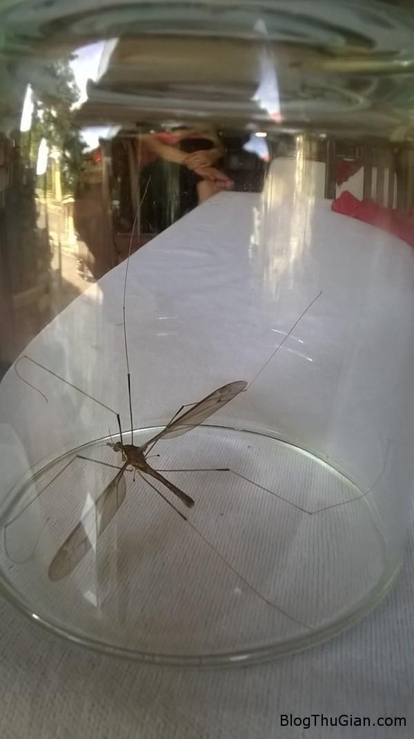 d27059muoi Bắt được con muỗi khổng lồ như con chuồn chuồn
