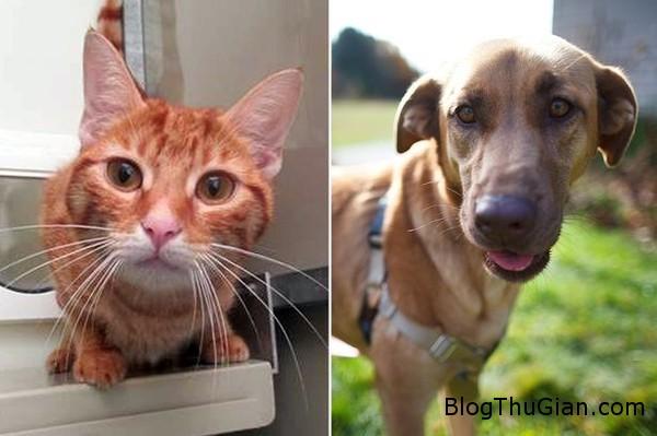 141005 1chomeo 38718 Chú chó săn hiến máu cứu mạng bạn mèo