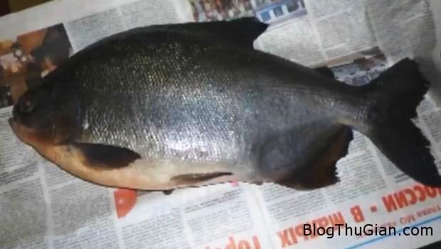 2 56691 Bắt được con cá có hàm răng giống người