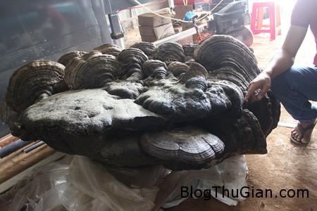 anh than nam 196ce Nấm linh chi khổng lồ nặng 2 tạ có giá gần 1 tỷ đồng ở Việt Nam