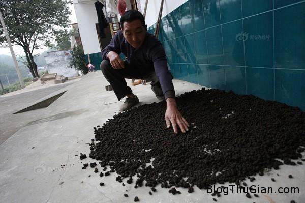 ca lang uong nuoc pha phan suc vat de khoe manh1  Thần dược  đến từ phân bò