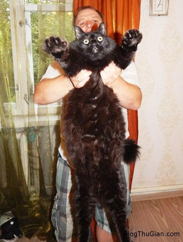 chu meo sieu beo nang 10kg nhung van chay nhay nhanh nhen Chú mèo khổng lồ có cân nặng lên tới 10kg