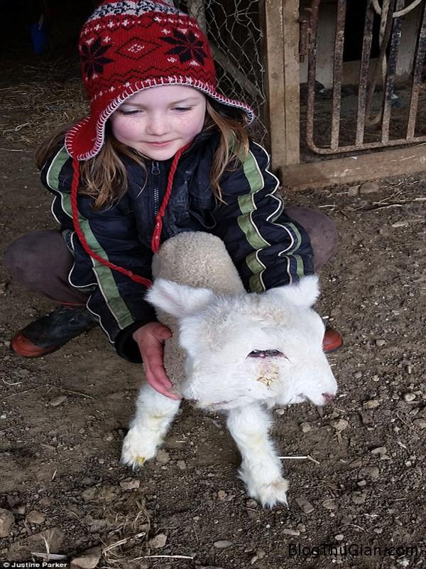 cuu 4 mat 2 mui xuat hien o new zealand1 Chú cừu đặc biệt có 4 mắt và 2 đầu dính liền nhau