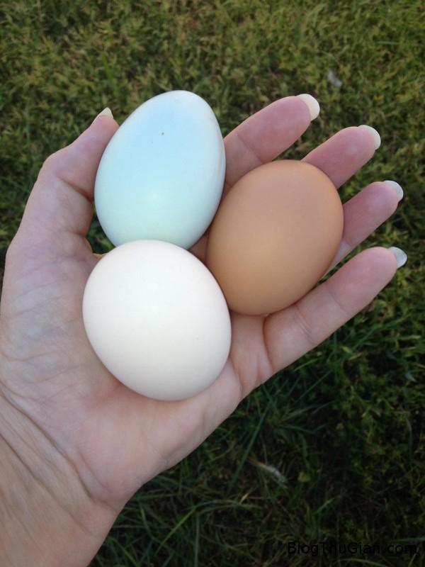 ky la dan ga cung luc de ra lua trung cac mau sac khac nhau Gà đẻ trứng có ba màu sắc khác nhau