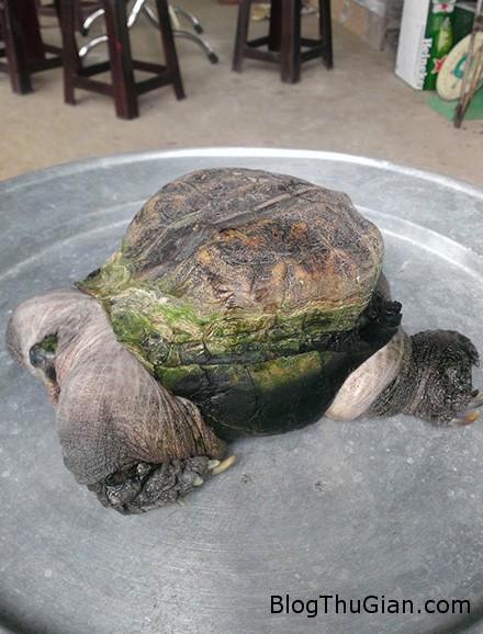 ruadi2 96cc0 Bắt được rùa có hình dạng quái dị ở Tiền Giang