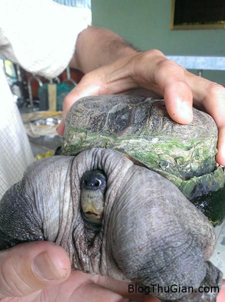 ruadi3 96cc0 Bắt được rùa có hình dạng quái dị ở Tiền Giang