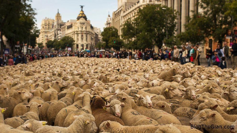 sheep 4ed92 Hơn 2000 con Cừu diễu hành trên đường phố