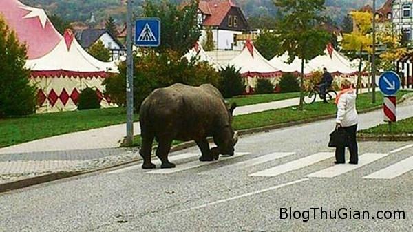 te giac duoc chu cho tung tang dao pho Dẫn tê giác đi dạo ngoài đường