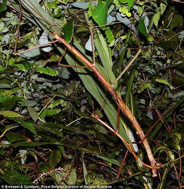 bo que khong lo giong canh cay dai 54cm duoc tim thay o viet nam Phát hiện bọ que khổng lồ dài 54cm trong rừng Việt Nam