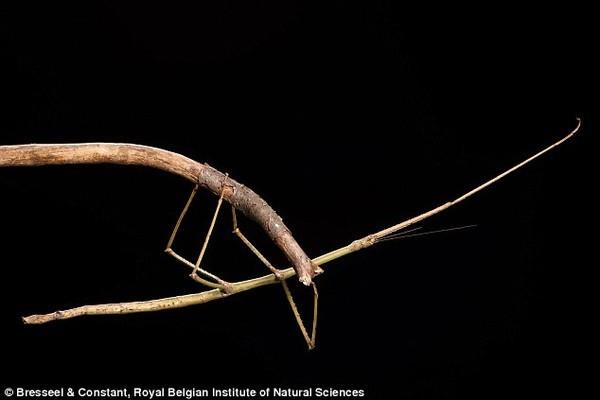 bo que khong lo giong canh cay dai 54cm duoc tim thay o viet nam3 Phát hiện bọ que khổng lồ dài 54cm trong rừng Việt Nam