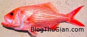 chu ca la mau do song toi hon 84 tuoi 300x130 Chú cá có tuổi thọ cao nhất tại khu vực Tây Úc.