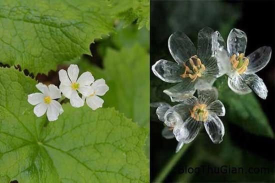 loai hoa cuc dep hoa trong suot khi mua xuong Loài hoa cực lạ hóa trong suốt khi gặp mưa