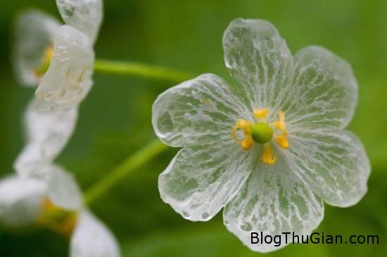 loai hoa cuc dep hoa trong suot khi mua xuong2 Loài hoa cực lạ hóa trong suốt khi gặp mưa