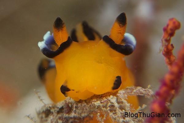 oc sen bien ngo nghinh co ngoai hinh giong pikachu1 Ốc biển có ngoại hình giống Pikachu