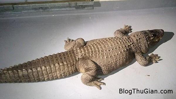 buon vi chong qua doi thu nap ca sau dai 24m lam thu cung trong nha  Nuôi cá sấu 37 tuổi dài 2.4m như thú cưng ngay trong sân nhà