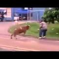 Con bò mất nết