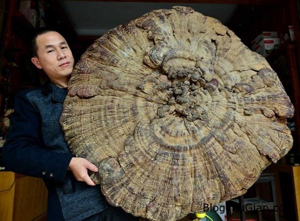 nam khong lo nang 74kg co duong kinh hon 1m Nấm khổng lồ có đường kính hơn 1m và nặng 7,4kg ở Trung Quốc