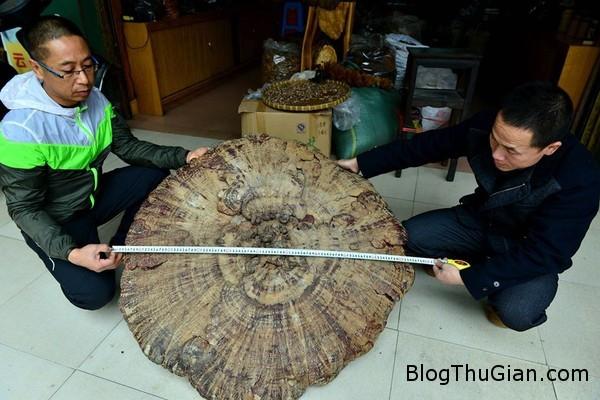 nam khong lo nang 74kg co duong kinh hon 1m1 Nấm khổng lồ có đường kính hơn 1m và nặng 7,4kg ở Trung Quốc