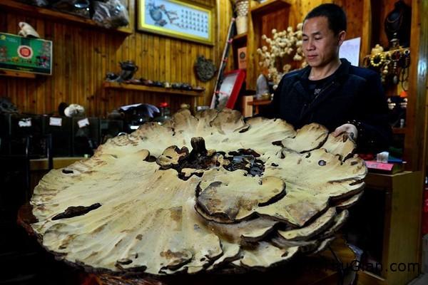 nam khong lo nang 74kg co duong kinh hon 1m3 Nấm khổng lồ có đường kính hơn 1m và nặng 7,4kg ở Trung Quốc