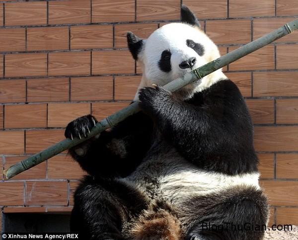 thich thu voi nang gau truc cam canh tre gia vo thoi sao Thích thú với nàng gấu trúc biết thổi sáo để làm trò mua vui