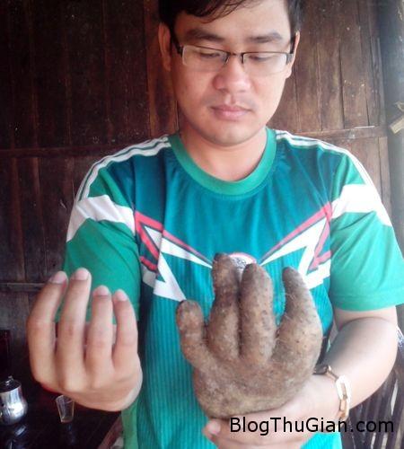 IMG 20150321 070350 a4762 Đào được củ khoai từ có hình dạng giống bàn tay người