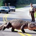 alligator-brunswick-600-1398-1400471404