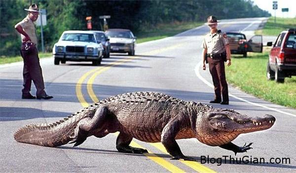 alligator brunswick 600 1398 1400471404 Cá sấu hỗ trợ cảnh sát bắt cướp