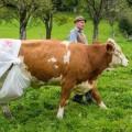cow-7130-1412908901