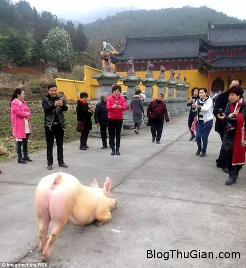 pig1 6704 1424941981 Lợn quỳ gối lễ Phật trước cửa chùa