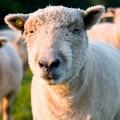 sheep-8645-1416282048