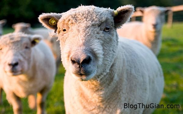 sheep 8645 1416282048 Nam sinh viên quan hệ tình dục với cừu