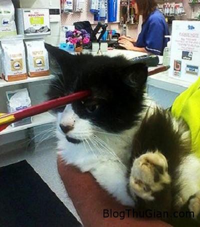 cat 9963 1383032042 Mèo bị mũi tên dài cắm ngang đầu vẫn không chết