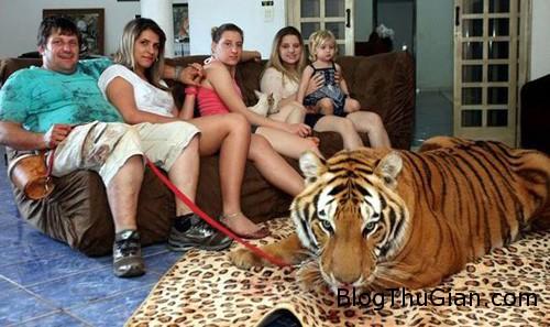 tiger1 3203 1380255643 Nuôi 7 con hổ làm thú cưng