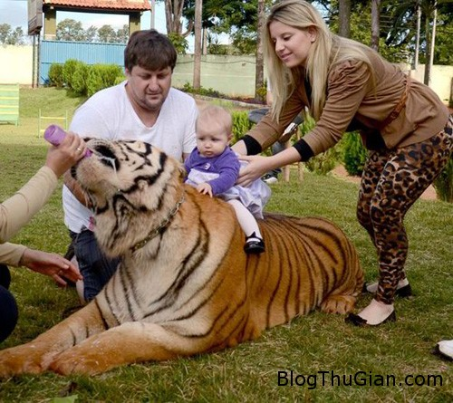 tiger2 5009 1380255644 Nuôi 7 con hổ làm thú cưng