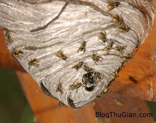bee 853151 1368848810 600x0 Tử vong do cố quan hệ với...tổ ong bắp cày