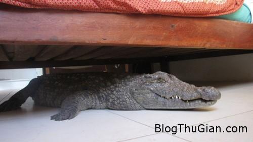 croc 8550 13794945421 Cá sấu trốn dưới gầm giường suốt đêm
