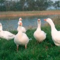 geese-1374741356_500x0